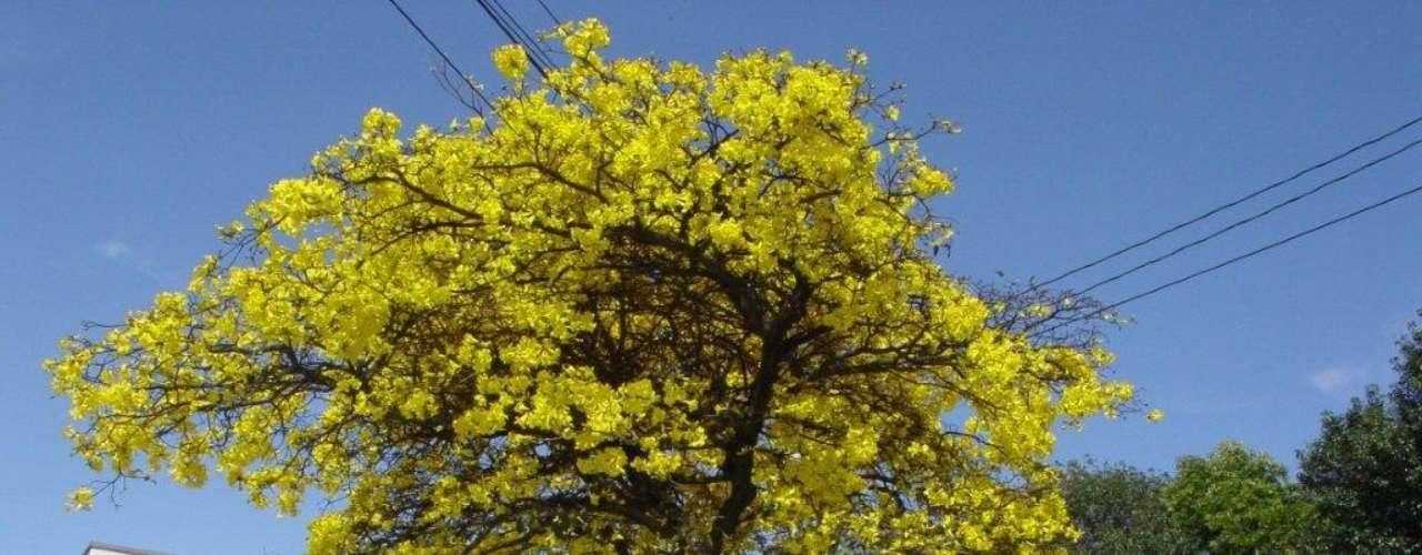 A flor amarela é a mais recorrente nos ipês