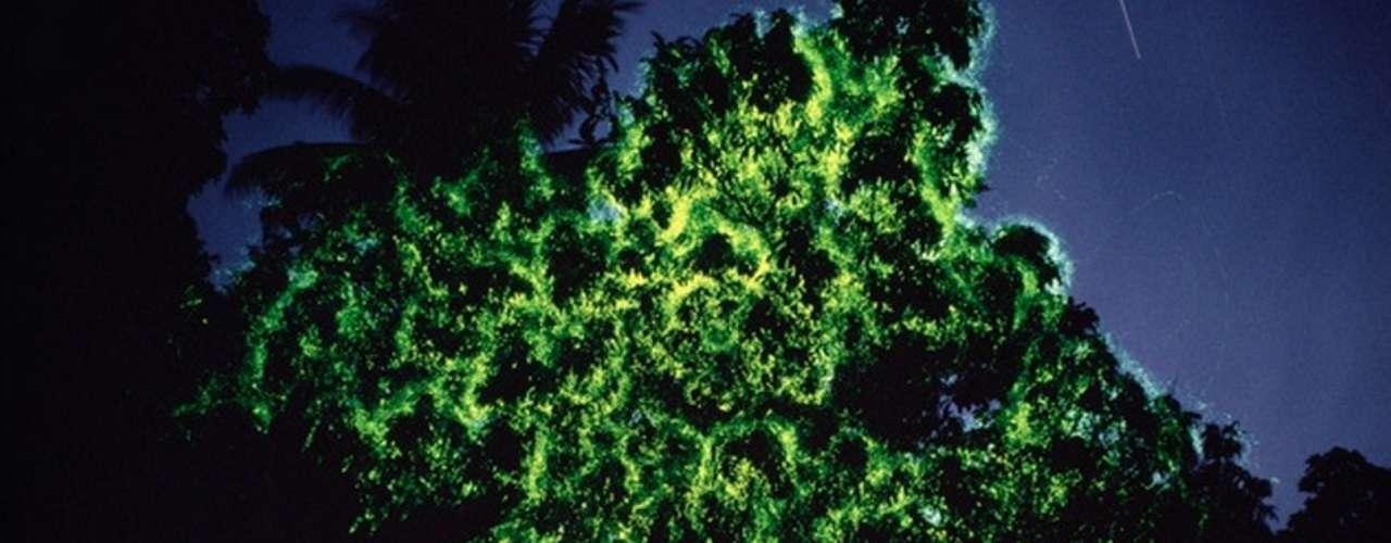 Árvores de vaga lumes, Papua Nova Guiné: vaga-lumes costumam criar belos visuais com suas luzes, mesmo quando se trata de um pequeno punhado destes insetos. Imagine então grandes árvores totalmente iluminadas por milhares desses bichinhos. Este é o espetáculo criado em diferentes localidades como a Papua-Nova Guiné, onde hotéis e resorts oferecem a seus hóspedes excursões noturnas para apreciar a beleza do fenômeno