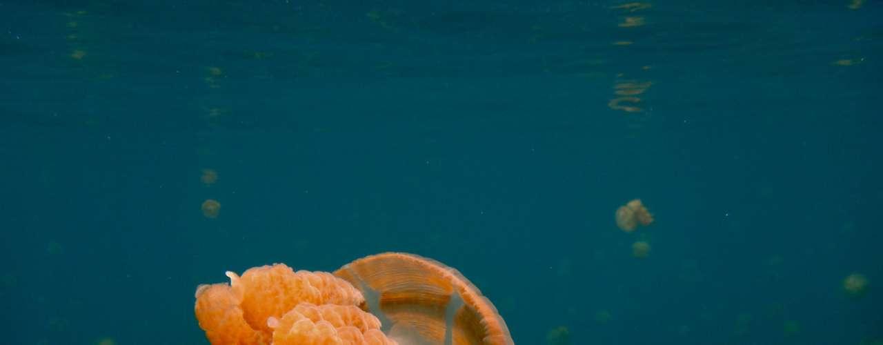 Lago das águas vivas, Palau: mergulhar num lago cheio de águas-vivas pode soar como uma tortura. Mas neste lago das Ilhas Rock de Palau, onde águas-vivas ficaram presas há muitos anos e se reproduziram e perderam sua capacidade de machucar, o mergulho é um espetáculo único. Milhares destes animais ocupam as águas do lago, criando um visual e uma sensação inesquecível para aqueles que mergulham entre eles