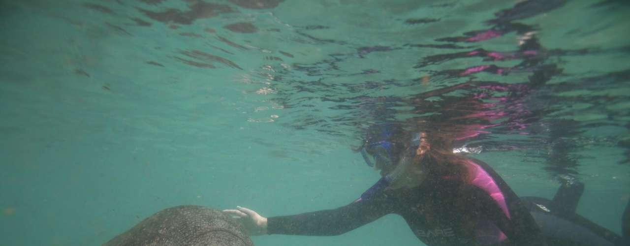 Mergulho com peixes-boi, Plantation On Crystal River, Crystal River: a Flórida é o único lugar nos Estados Unidos onde é legalmente possível nadar com peixes-boi. Por isso, o hotel oferece opções de mergulhos para todas as idades. Porém, para nadar com os animais é preciso estar calmo e silencioso, então o programa é recomendado para crianças mais velhas