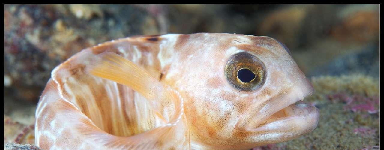 Nesta imagem, ele mostra um filhote de Anarhichas lupus