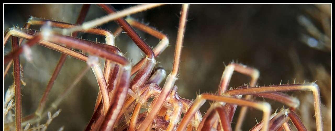 Esta quantidade enorme de pernas é resultado de duas Nymphon grossipes acasalando