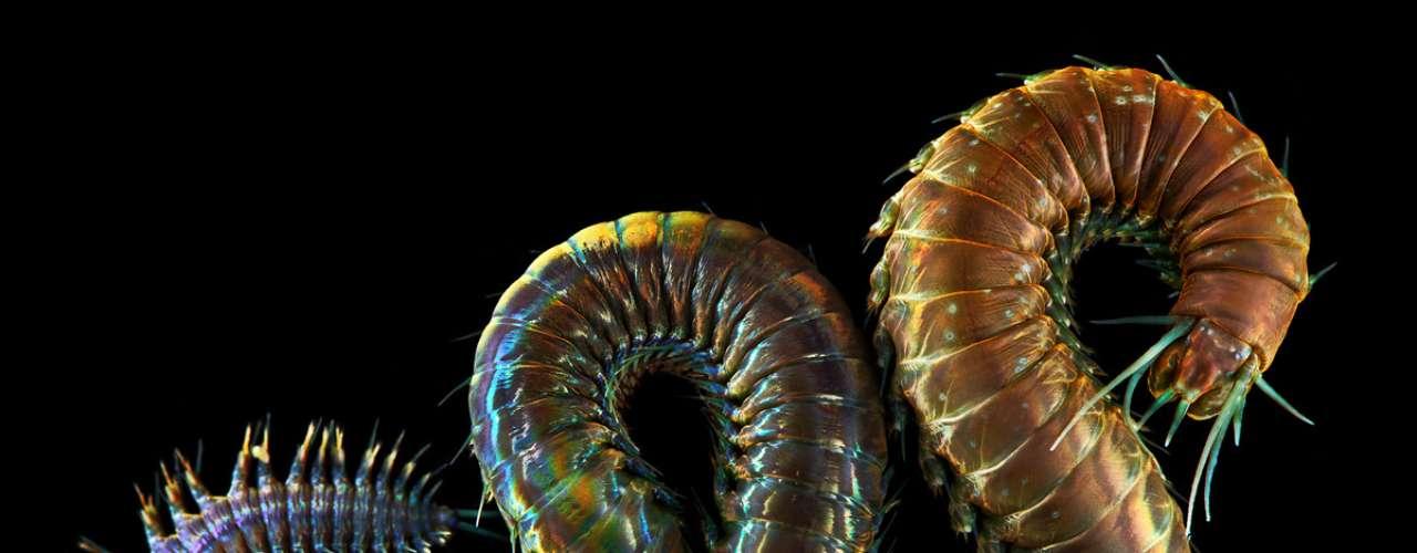 O biológo russo Alexander Semenov faz sucesso com suas imagens da vida marinha, como deste verme que é conhecido como Alitta virens