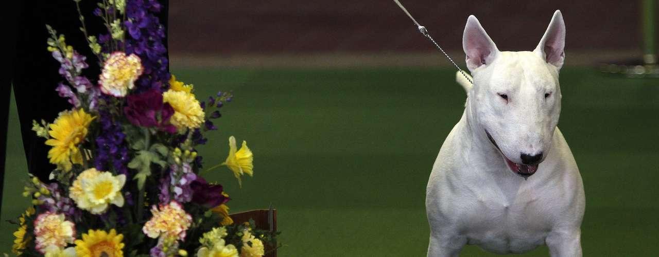 Kid, um mini bull-terrier, é homenageado após vitória no concurso de raça