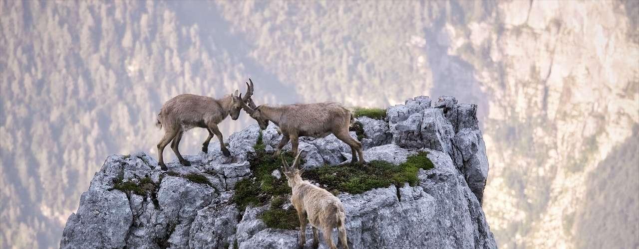 Cabras batalham nos alpes italianos