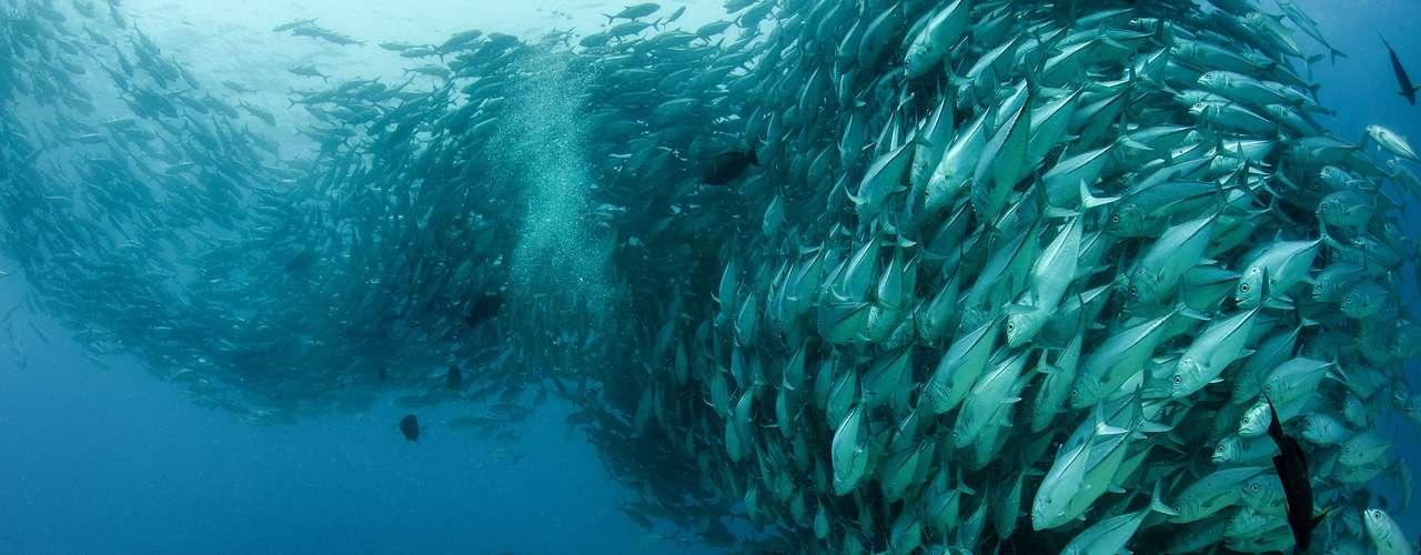 O fotógrafo americano Octavio Aburto levou três anos para conseguir fazer esta imagem, na qual um cardume parece posar para uma foto. O mergulhador na imagem é David Castro, que trabalha no Parque Nacional Cabo Pulmo, no México