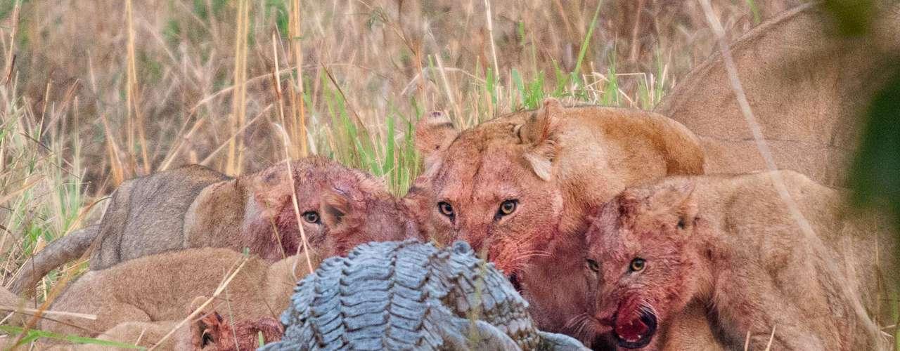 Um crocodilo-do-Nilo de 3 metros de comprimento encara de frente duas leoas que alimentavam seus filhotes com uma presa recém abatida. O enorme réptil se deu melhor e colocou as leoas para correr