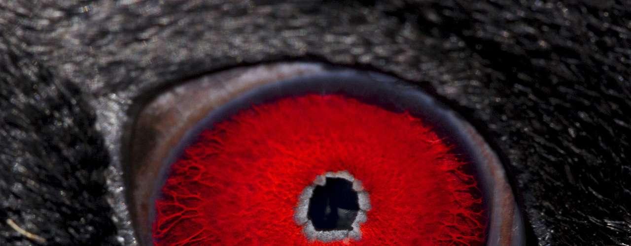 Joel Satore registrou os olhos de diversos animais para mostrar a variedade de cores e formas. Nesta fotografia, aparece um pinguim-macaroni