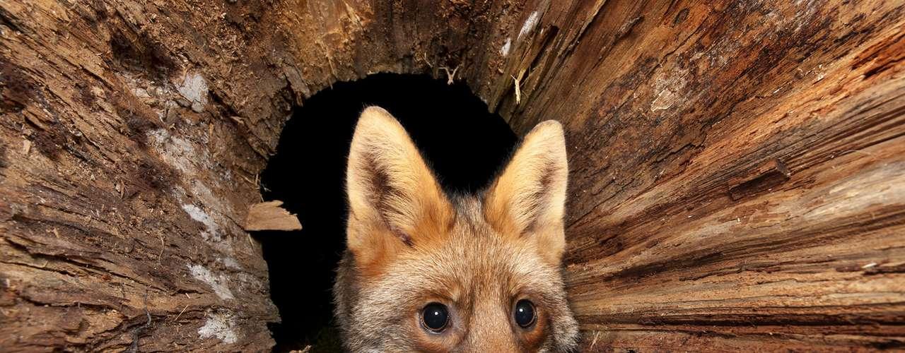Jegen ainda registou o momento em que uma raposa pega um ovo no quintal de sua casa. O fotógrafo alemão montou uma armadilha que foi disparada quando o animal pegou o ovo
