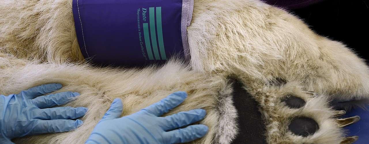 Este urso-polar precisou de um tratamento de canal nos Estados Unidos após ser resgatado de um circo. Esta imagem dá uma ideia do tamanho do animal. O tratamento foi um sucesso