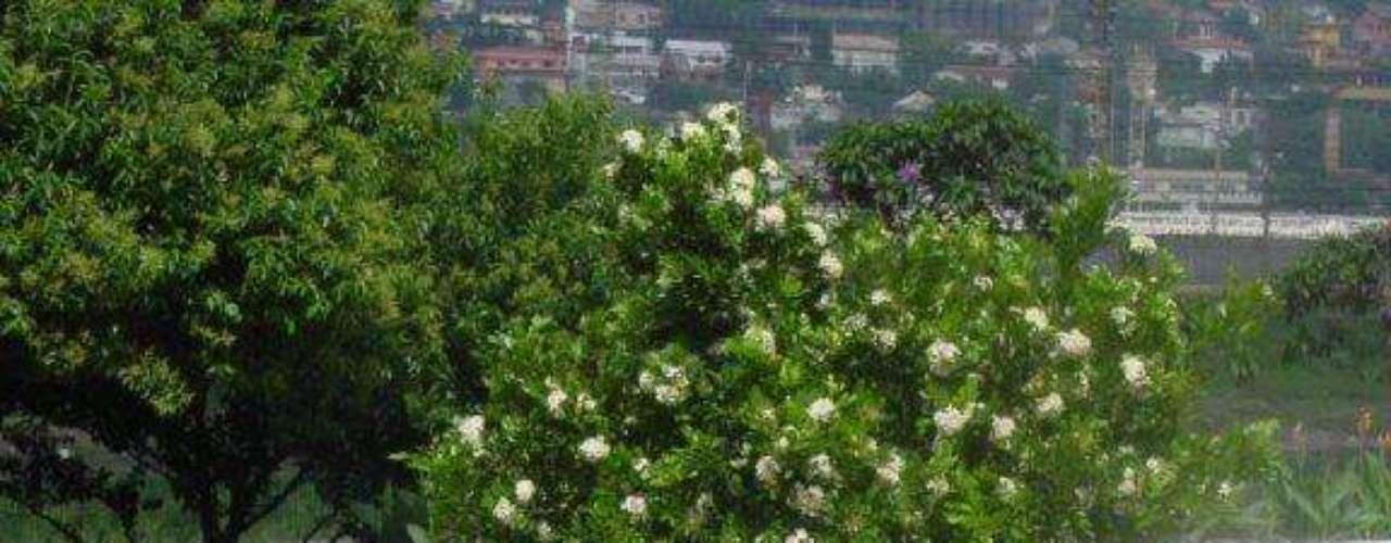 A murta é uma espécie que tem o porte ideal para decorar calçadas. Mas suas flores soltam um perfume mais forte, o que pode ser um problema para alguns moradores