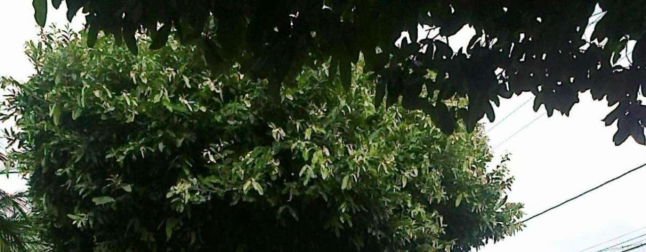 Árvore de oiti, planta bem adaptada para calçadas por proporcionar sombra e ser resistente a secas