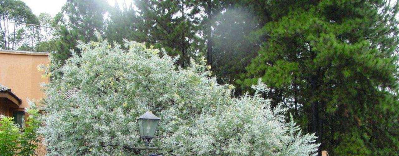 Apesar da copa volumosa, a acácia mimosa é uma boa opção para adornar calçadas. Não tem flores, mas a folhagem chama a atenção