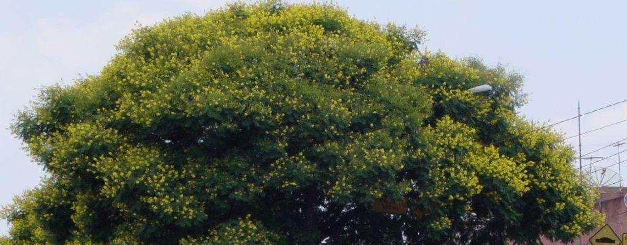 Camurça em época de florada