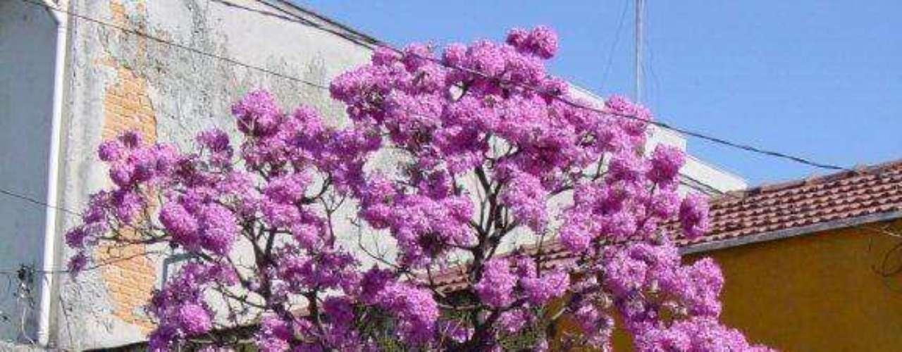 O ipê roxo é uma espécie grande e bem chamativa, porque produz uma cascata de flores. Mais uma vez, o cuidado aqui tem que ser em mantê-lo sempre podado para que não entre em contato com a fiação