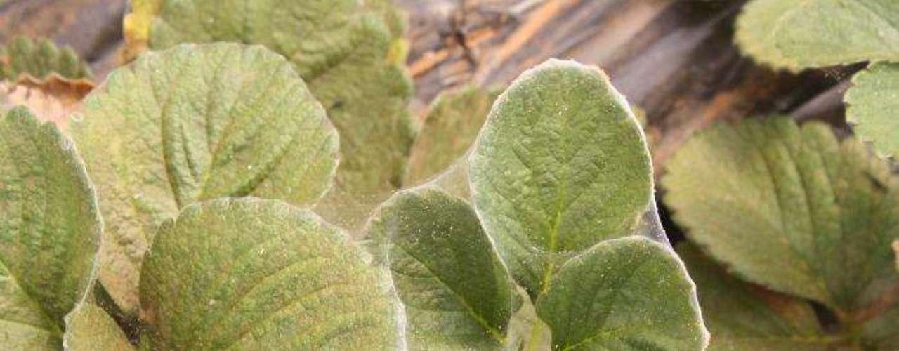PREPARADO DE FOLHAS DE LOSNA. INGREDIENTES: 30 g de folhas secas de losna e 11 litros de água. MODO DE FAZER: Ferva por dez minutos as folhas em 1 litro de água. Deixe esfriar e dilua o preparado em 10 litros de água para pulverizar. INDICAÇÃO: Age sobre lagartas, pulgões, vaquinhas, cochonilhas e ácaros.