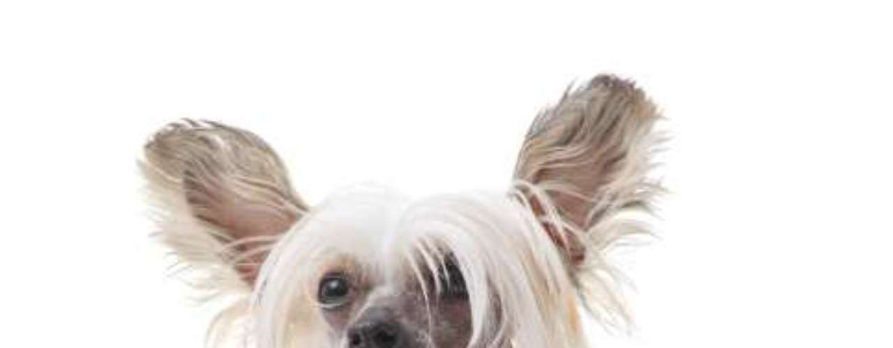 Chinese Crested: esta é uma das raças mais exóticas e valorizadas do mundo. De origem chinesa e porte pequeno, é conhecida por seu corpo naturalmente pelado e extremidades com pelos longos e lisos. Esses cães são carinhosos, alegres, delicados e nunca passam despercebidos. A versão peluda é chamada de Powderpuff. Segundo o Canil Lapinus Griffons, de São Paulo, um filhote do Chinese Creted deve custar entre R$ 4 mil e R$ 6 mil