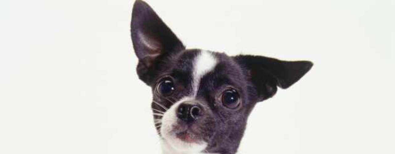 Chihuahua: o cãozinho das famosas, como Paris Hilton e Britney Spears, é conhecido por ser bem pequeno. No Canil Aventura do Chiahuhua, voltado especificamente para a criação dessa raça, um exemplar pode ser adquirido por R$ 3 mil, mas ainda há os que custam até R$10 mil. A variação de preço se dá pela linhagem e padrão do animal, além do seu difícil acasalamento