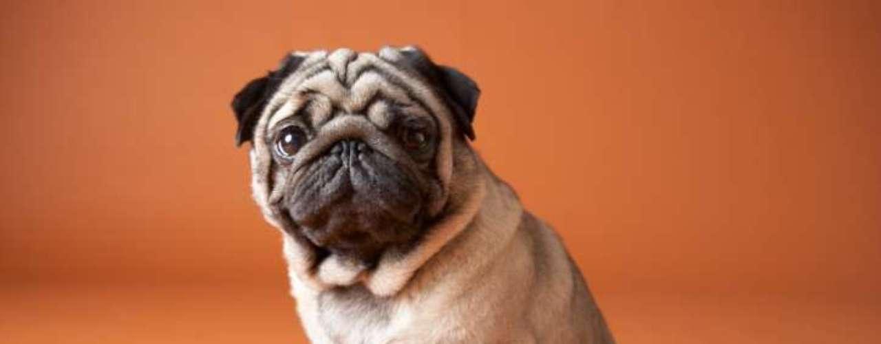 Pug: o focinho achatado e o perfil calmo e companheiro do Pug tornam ele um dos cães mais caros disponíveis no Brasil. No Canil Pugs Marines, destinado exclusivamente à raça, os preços variam entre R$ 3,5 mil e R$ 6 mil, de acordo com a linhagem e premiações recebidas pelos pais do filhote