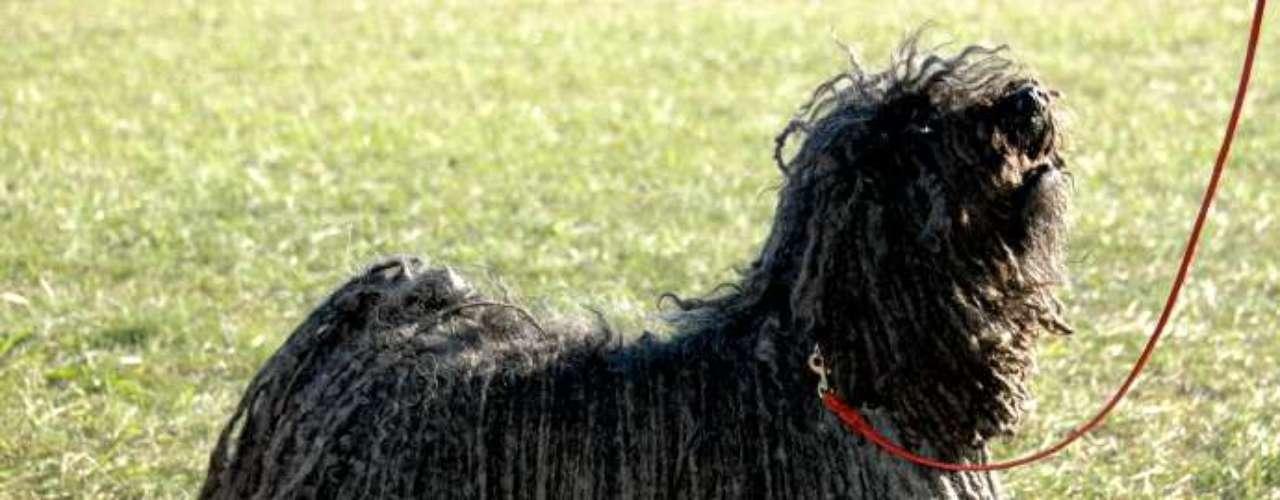 Puli: cão pastor de origem húngara, hoje é principalmente usado como cão de companhia por seu temperamento extremamente leal e afetuoso. Sua pelagem encordoada, extremamente exótica, é o traço mais marcante da raça. Ainda raríssimo no Brasil, foi o cão de companhia escolhido por Mark Zuckerberg, criador do Facebook - o que aumentou muito a procura por filhotes. A pelagem da raça pode ser preta, branca ou cinza. O preço do Puli varia de R$ 4 mil a R$ 6 mil, no Canil Lapinus, de São Paulo