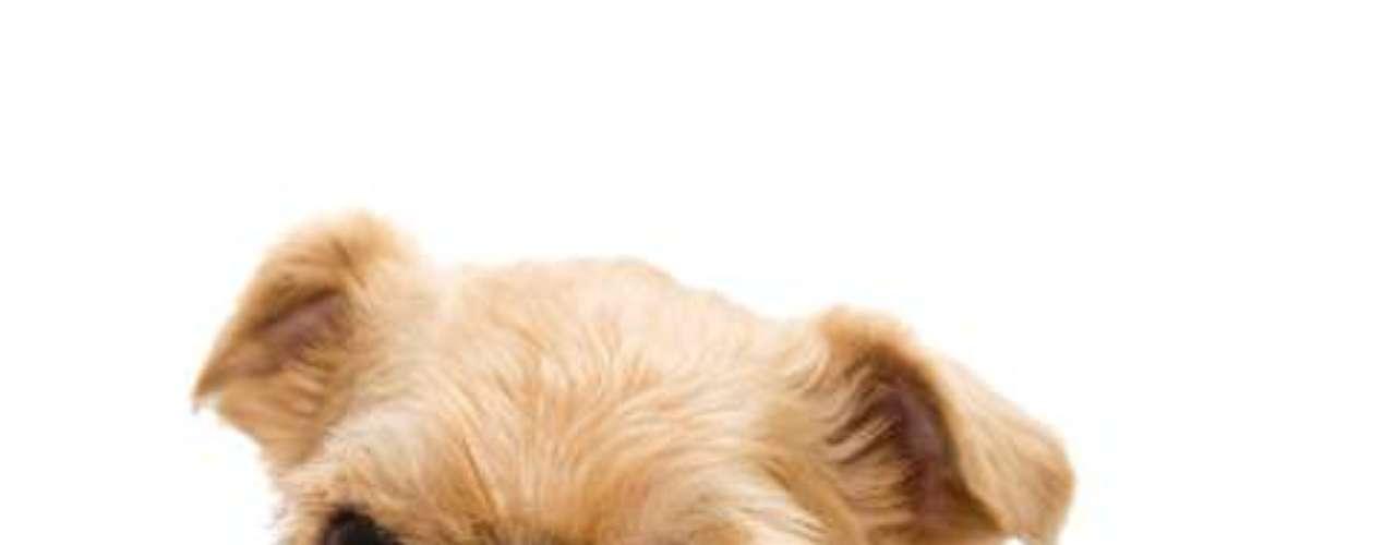 Griffon De Bruxelas: raça de origem Belga, de porte pequeno e ainda rara em todo o mundo devido à dificuldade de reprodução, esses cães ficaram famosos depois do filme Melhor é impossível! , tornando a procura por filhotes maior do que a oferta. Impressionam pelo olhar e expressões quase humanas. São cães extremamente inteligentes, afetuosos e desprovidos de agressividade. De pelagem dura e de fácil manutenção, existem nas cores dourado, black and tan e também na versão pelo curto. Segundo o Canil Lapinus, um exemplar deste cão não sai por menos de R$ 4 mil
