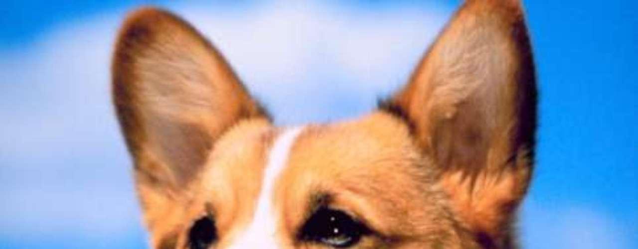 Pembroke Welsh Corgi: também conhecida como Corgi Galês, esta é a raça preferida da família real britânica. Um filhotinho deste cão custa em média US$ 1 mil