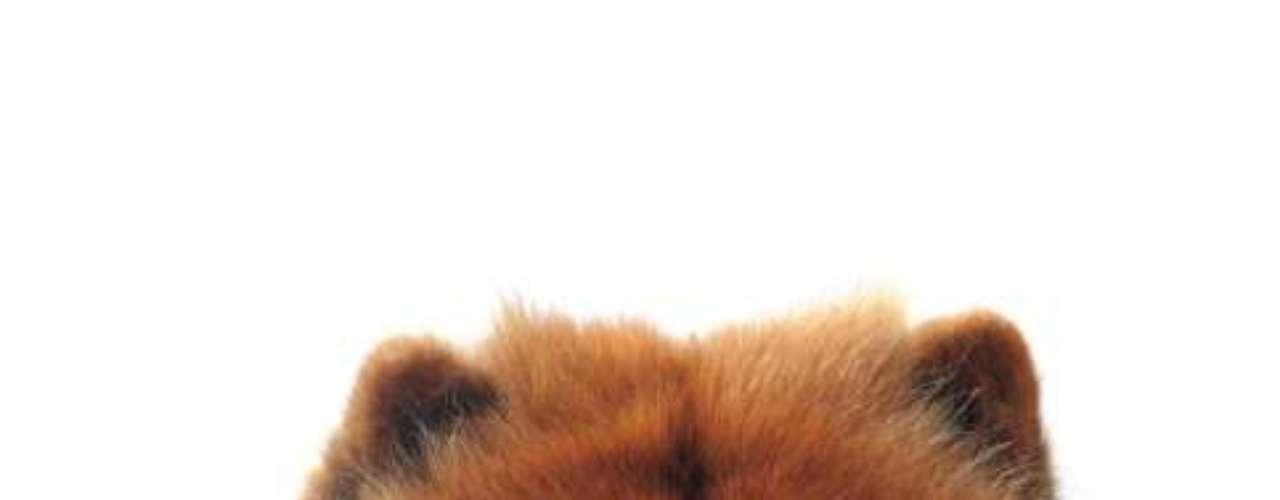 Chow Chow: o Chow Chow é uma das raças mais antigas a aparecer como cães domésticos na China. Amigável e protetor, um filhote desta raça custa em média R$ 3 mil