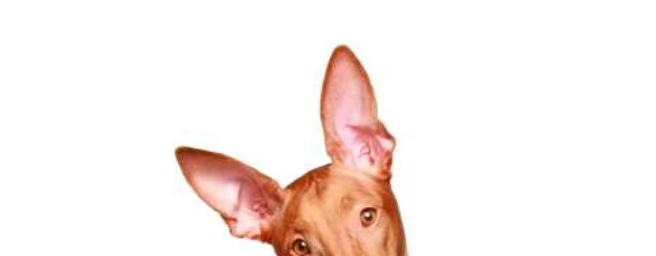 Faraó Egípcio Hound: o cão não é lá muito comum e, como o próprio nome diz, tem ascendência egípcia. Em 1974, o cachorro do faraó foi declarado o cão nacional de Malta, já que foi criado exclusivamente lá por 2 mil anos. Devido à sua relativa raridade, esta raça geralmente custa entre R$ 2 mil e R$ 4 mil