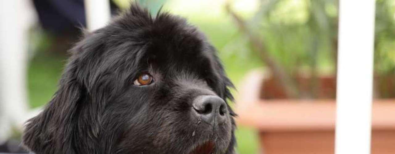 Terra Nova: o cão de origem canadense é considerado uma raça de grande porte. Muito ativo, o cão necessita de espaço e caminhadas diárias. Segundo o Canil Dog Models, especialista na criação desses animais, um Terra Nova não sai por menos de R$ 3 mil