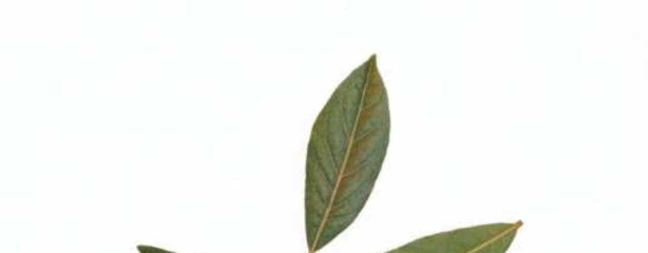 Louro: pode ser usada fresca, seca ou ainda moída em sopas, feijão e carnes diversas. As folhas de louro liberam seu sabor lentamente, por isso são tão usadas em caldos caseiros, ensopados, molhos, marinadas e conservas