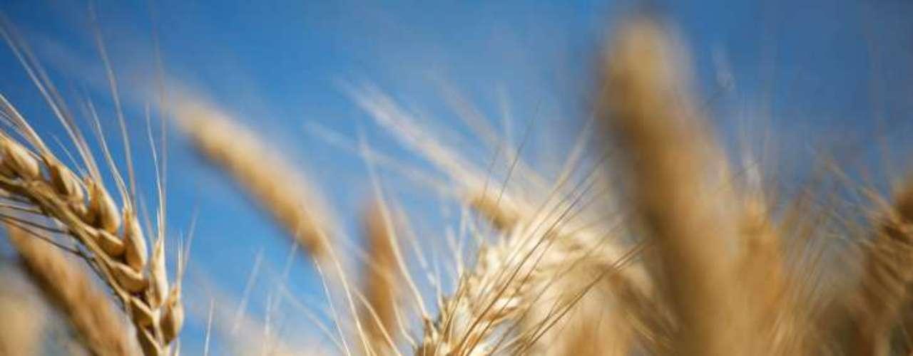 1. Escolha dos cereais: o tradicional uísque escocês de malte é feito a partir da cevada. Os outros uísques são feitos com trigo, centeio ou milho