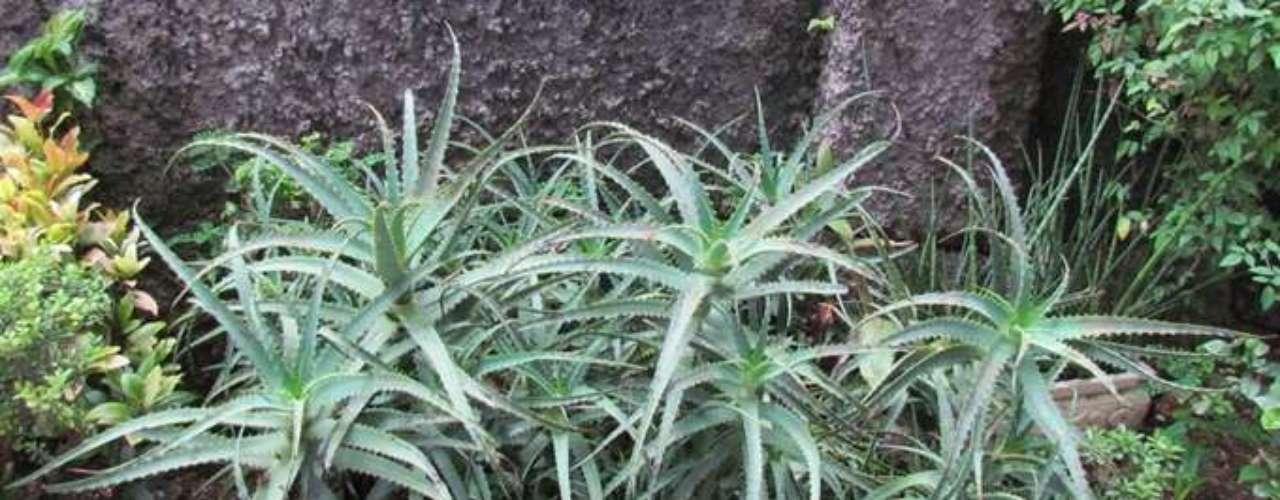 As plantas xerófitas, resistentes a climas áridos, desenvolveram a habilidade de reduzir a perda de água, reservando-a para períodos de seca
