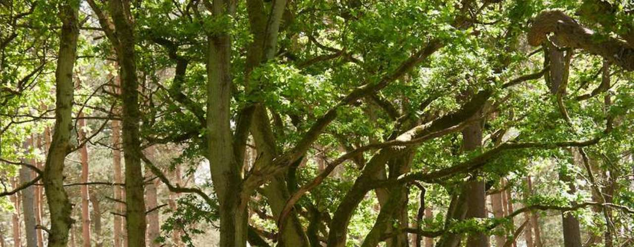 Floresta de Wychwood, Inglaterra: antigamente a Floresta de Wichwood ocupava uma grande área na região de Oxfordshire, no centro da Inglaterra. Hoje, seus vestígios são escassos, mas as lendas que ficaram famosas com os anos ainda persistem, com moradores que afirmam ter visto aparições de figuras misteriosas durante passeios