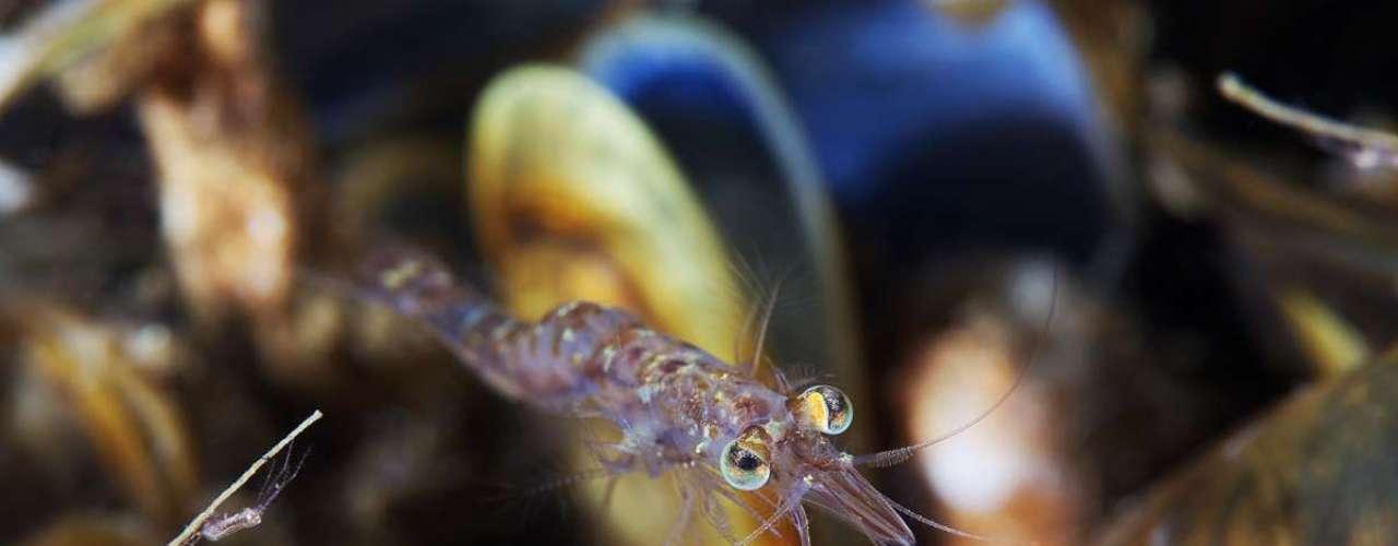 Nesta imagem, ele mostra um pequeno Mysis oculata