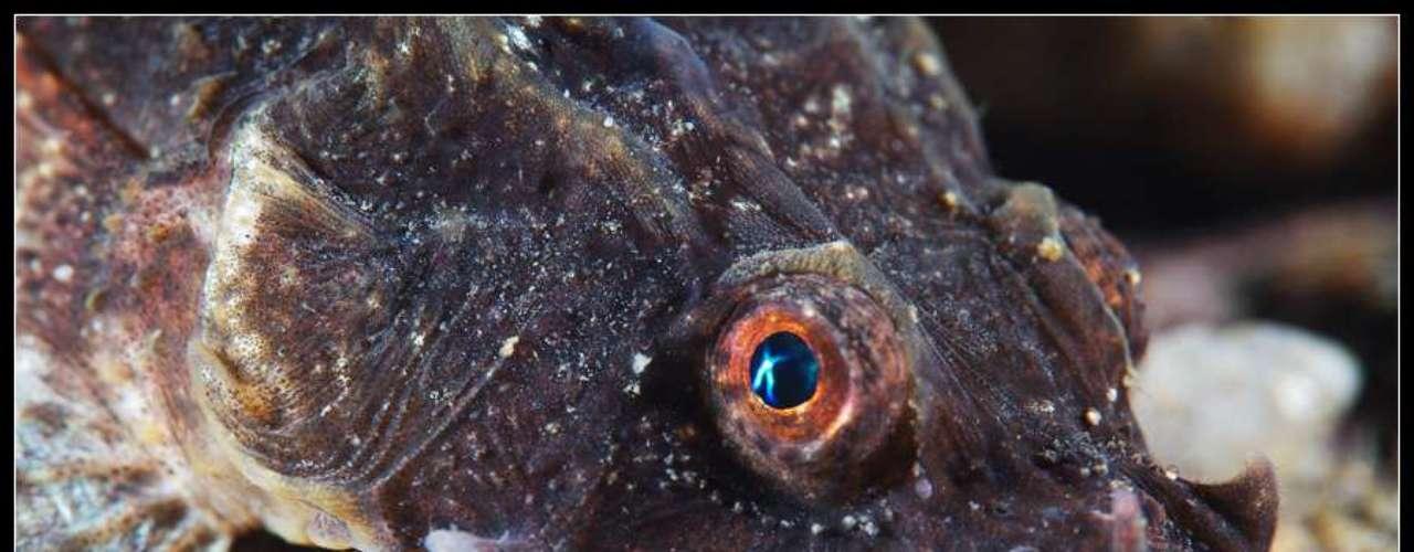 Este é um peixe da espécie Agonus cataphractus