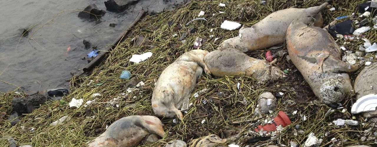 Os primeiros porcos mortos foram encontrados flutuando no Huangpu na quinta-feira, 6 de março . O rio Huangpu representa 20% do consumo de água dos 23 milhões de habitantes da região
