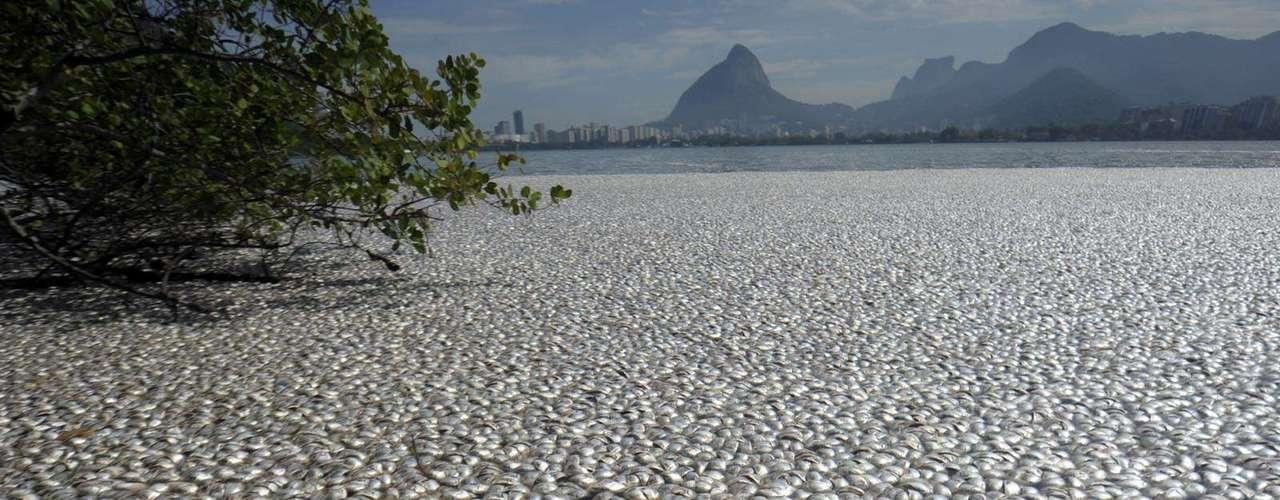 A mortandade de peixes já é a segunda maior da história na lagoa. Em 2009, a prefeitura recolheu mais de 100 toneladas no maior desastre ambiental em um dos cartões postais do Rio de Janeiro