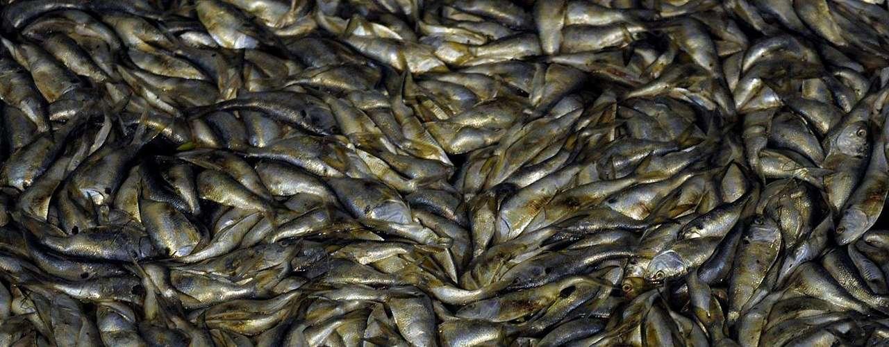 Uma nova mortandade de peixes é observada desde terça-feira, e segundo a secretaria municipal de Meio Ambiente, foi causada pelas chuvas dos últimos dias que teriam levado grande quantidade de matéria orgânica