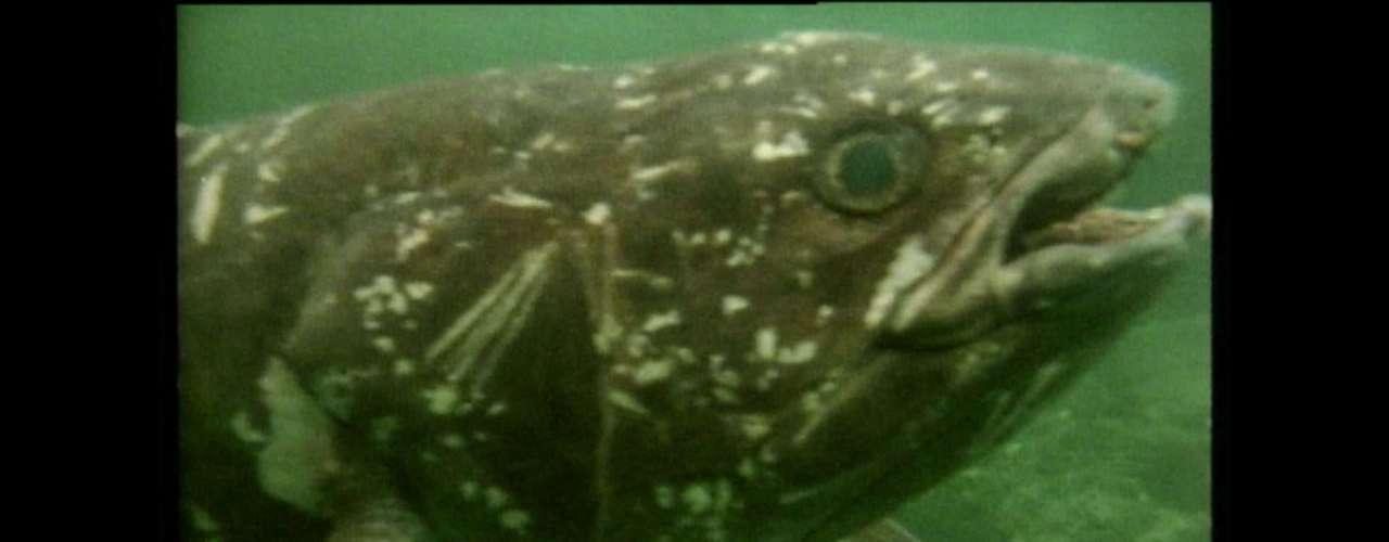 O celacanto teria evoluído ao seu estado atual há cerca de 400 milhões de anos. Uma equipe de pesquisadores partirá nesta segunda-feira para uma expedição em cavernas profundas da África do Sul para tentar encontrar o peixe, considerado um ''fóssil vivo'' por ser extremamente raro