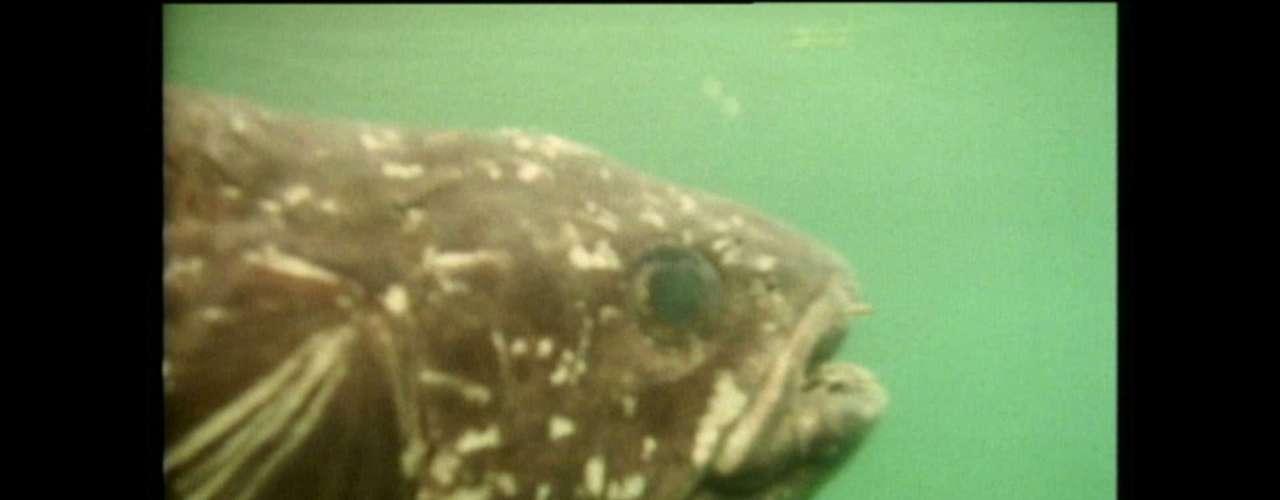 O celacanto era dado como extinto até o final da década de 1930, quando espécimes foram encontrados no litoral da África do Sul