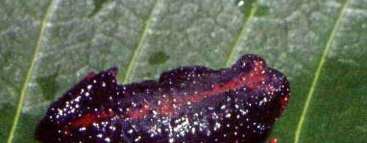 Sapo-de-barriga-vermelha é endêmico, ou seja, só tem ocorrência em uma região. Por causa dessa espécie, a obra de uma hidrelétrica foi parada no RS.