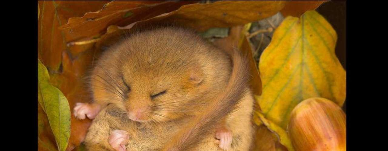 Essa imagem registrada durante o outono em Devon, no sul da Inglaterra, foi altamente elogiada na categoria bosques selvagens. Danny Green, autor da foto, falou sobre a complexidade de se fotografar mamíferos em extinção. Este arganaz está hibernando e por isso eu usei um suporte especial para câmera para não assustá-lo.