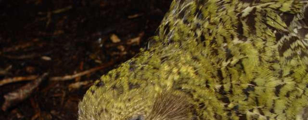 O kakapo só existe na Nova Zelândia e não consegue voar