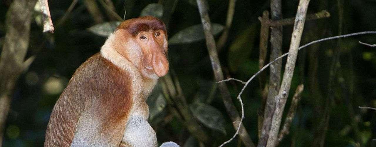 O macaco-narigudo (Nasalis larvatus) não tem esse nome à toa: nos machos, o nariz é longo e flexível - e feio