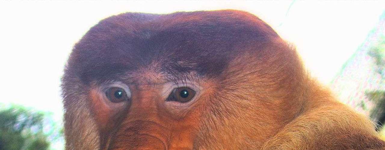 O nariz do macaco-narigudo também é usado como instrumento para emitir sons