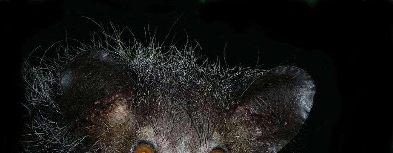 O aie-aie, primata que só existe em Madagascar, está ameaçado de extinção