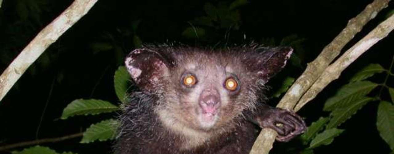 Com seus grandes olhos, o aie-aie possui boa visão noturna