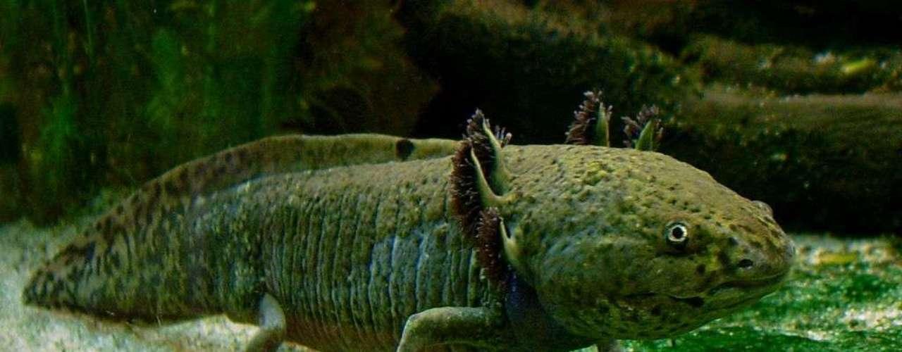 O axolote ou axolotle (Ambystoma mexicanum) é uma espécie de salamandra
