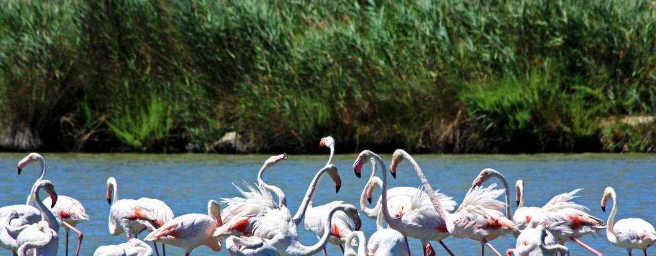 Reserva Natural de Camargue Localizado entre a terra e o mar Mediterrâneo, no departamento de Bouches du Rhône, no sul do país, o Parque Regional de Camargue é uma região de rara beleza natural. Trata-se de uma zona úmida de importância internacional, com a maior população de flamingos da Europa. Cavalos selvagens e touros negros que passeiam pelos campos também são marca registrada de Camargue. O labirinto de canais, lagoas, dunas e canaviais é um paraíso para os ornitólogos e amantes da natureza em geral, que podem explorar a área a pé, de bicicleta ou a cavalo
