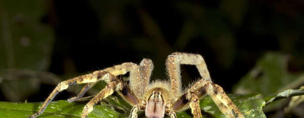 Já as aranhas armadeiras sequer produzem teias. Elas são maiores e mais ágeis do que a marrom, e seu veneno provoca dor intensa no local da picada